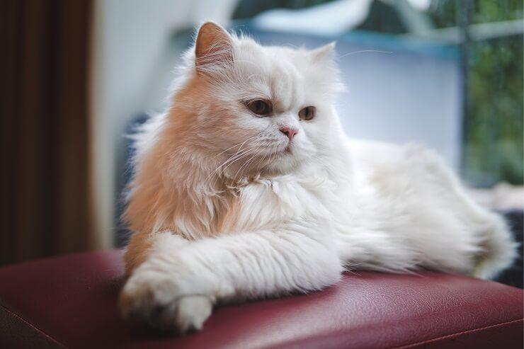 persian cat short eared cat