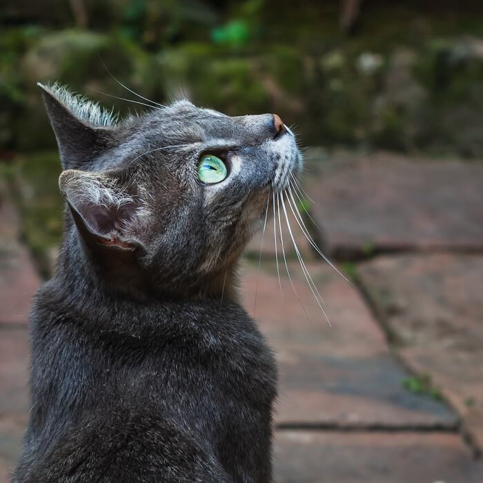 What is cat chirping?