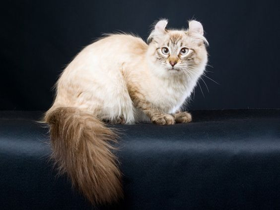 american curl cats with small ears