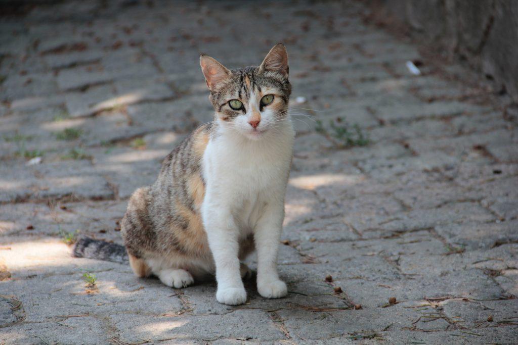 Tortoiseshell Coat in cats