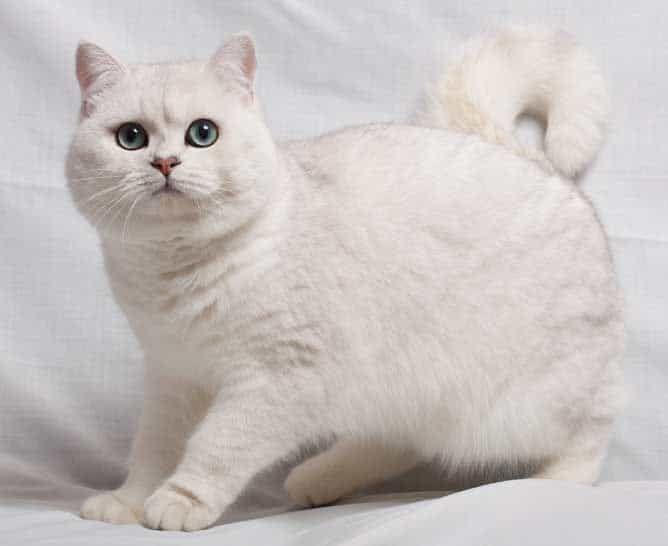 British Shorthair cat breed with big eyes