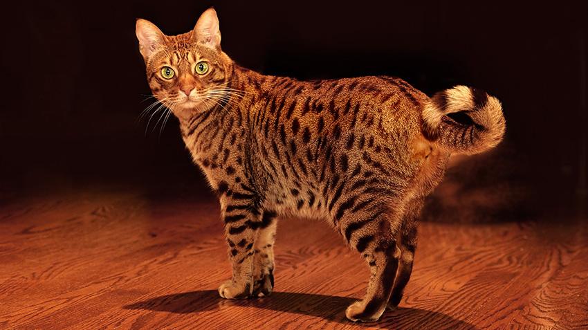 Ocicat cat breed with big eyes