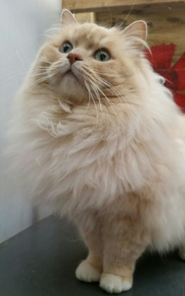 Ragamuffin cat breed with big eyes