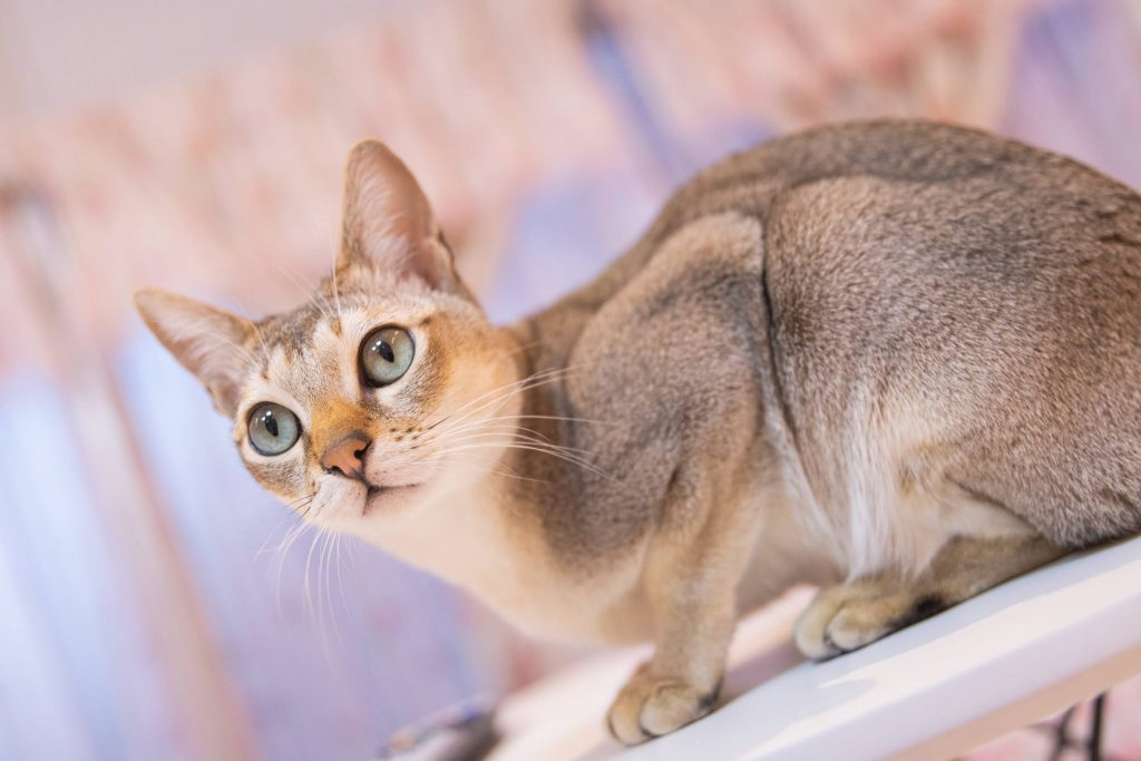 Singapura cat breed with big eyes