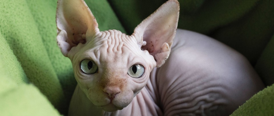Sphynx cat breed with big eyes