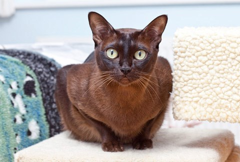 Burmese cat breed with big eyes