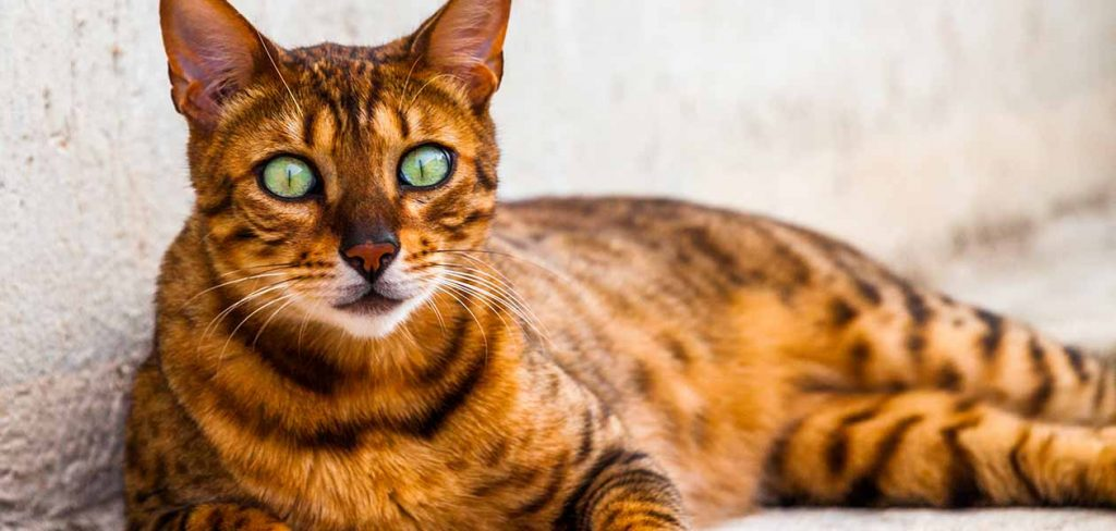California Spangled cat breed with big eyes