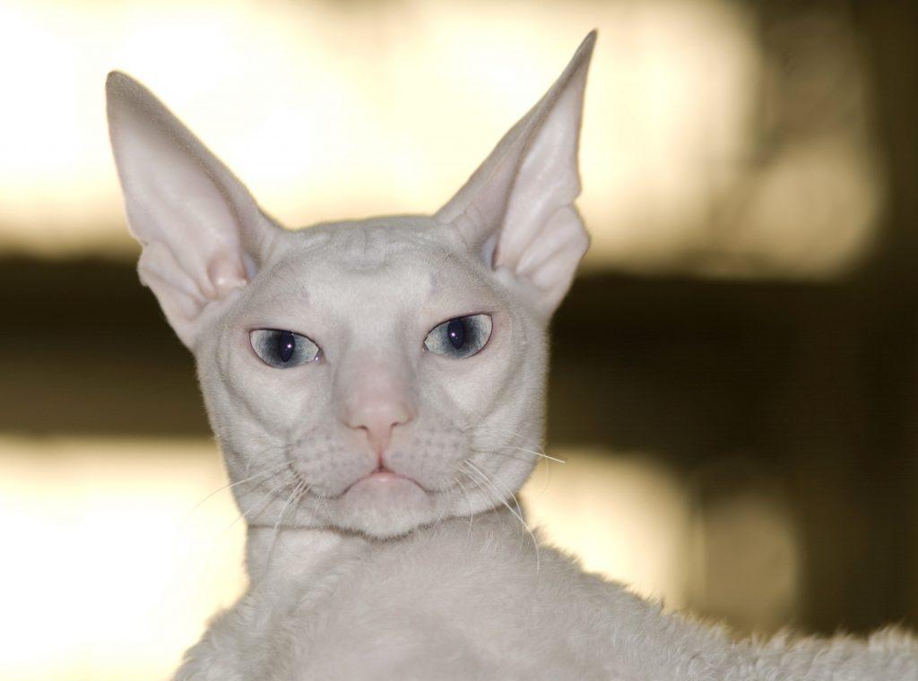 Cornish Rex cat breed with big eyes