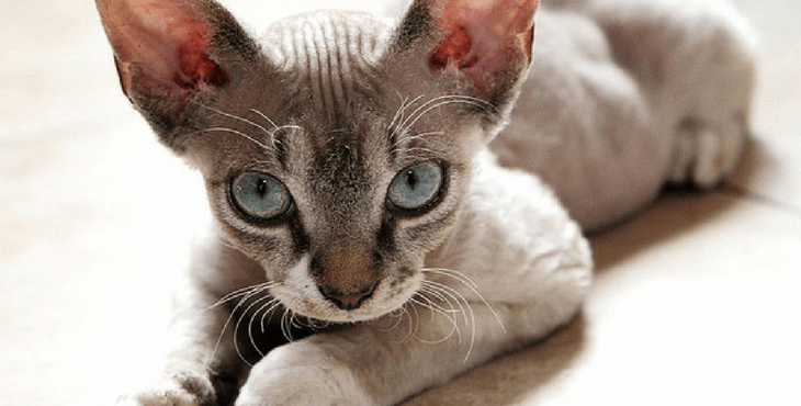 Devon Rex cat breed with big eyes