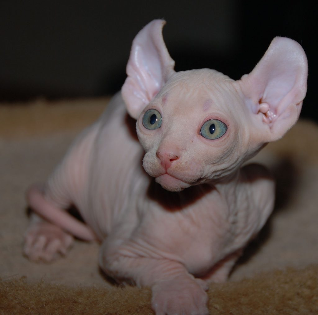 Elf Cat breed with big eyes