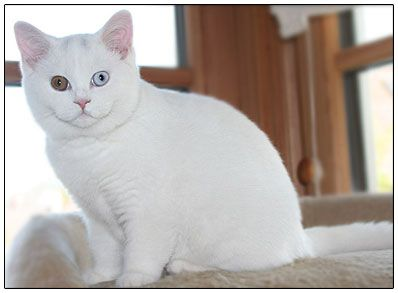 british shorthair White Color