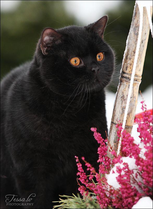 British shorthair black Color
