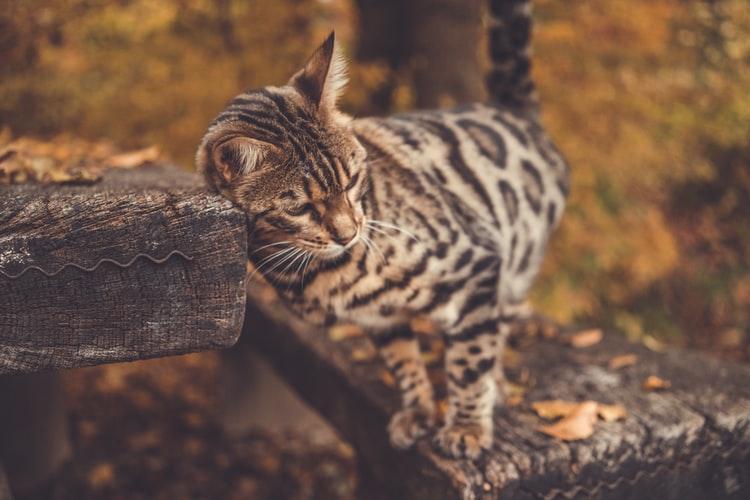 best female Bengal cat names
