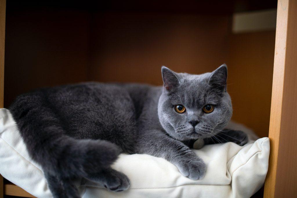 Blue Color british shorthair