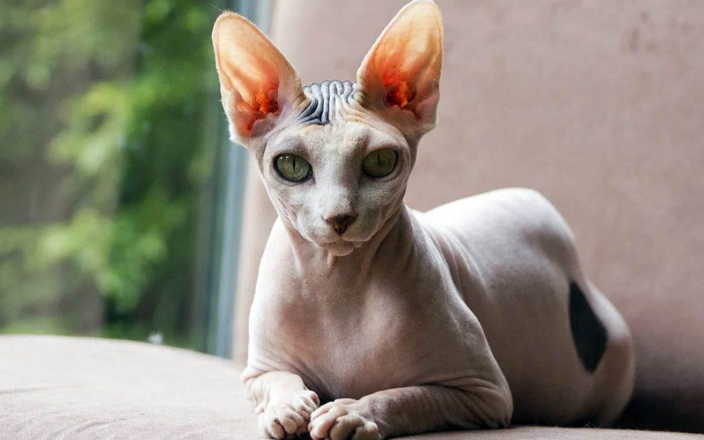 Peterbald cat - the Petersburg Sphynx