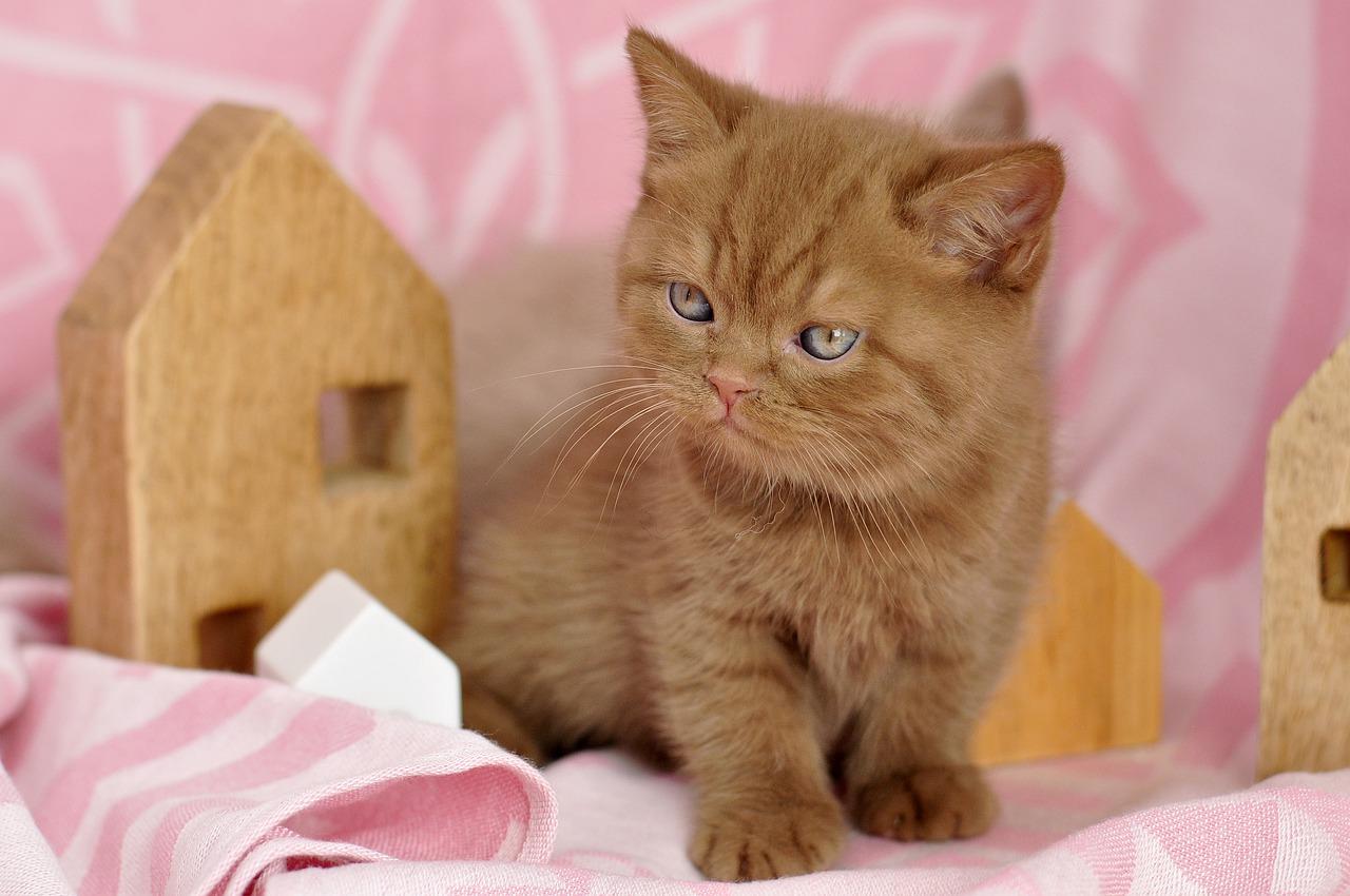 british shorthair red ginger