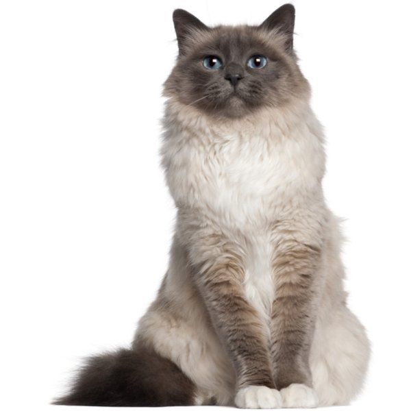 Birman fluffy cat