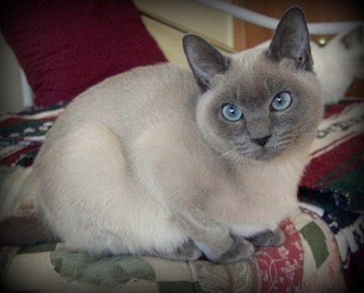Tonkinese cat breed with big eyes