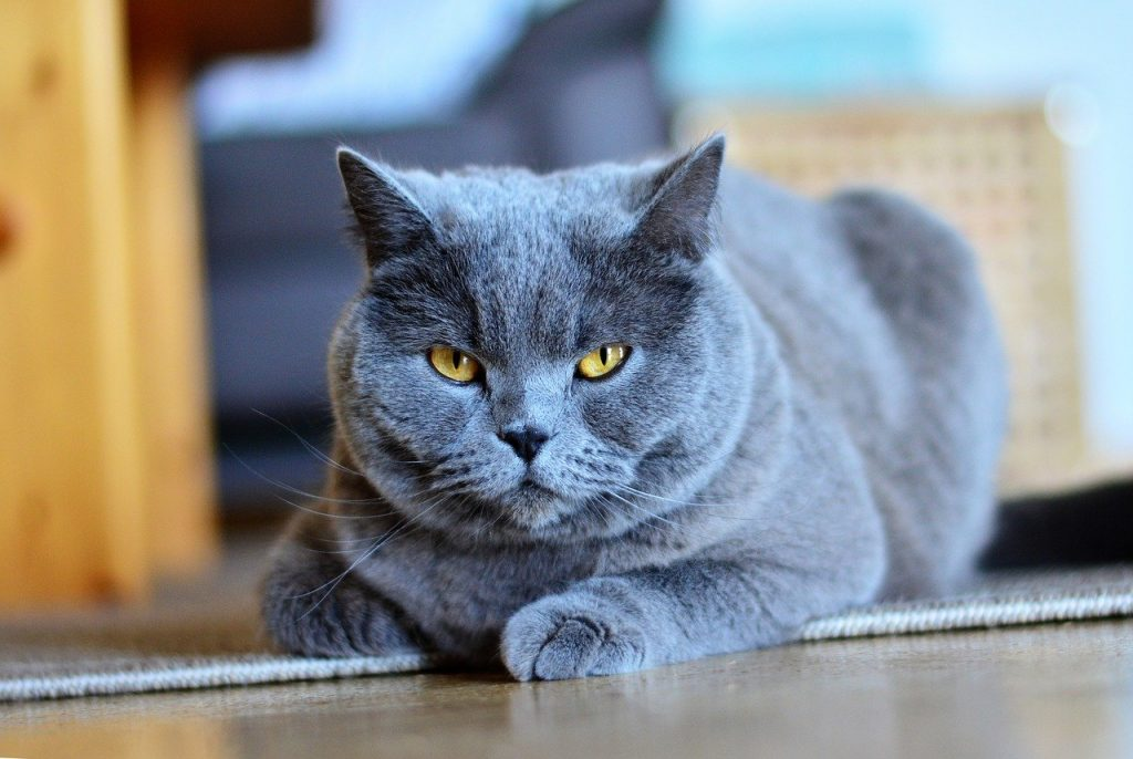 Chartreux cat breed with big eyes