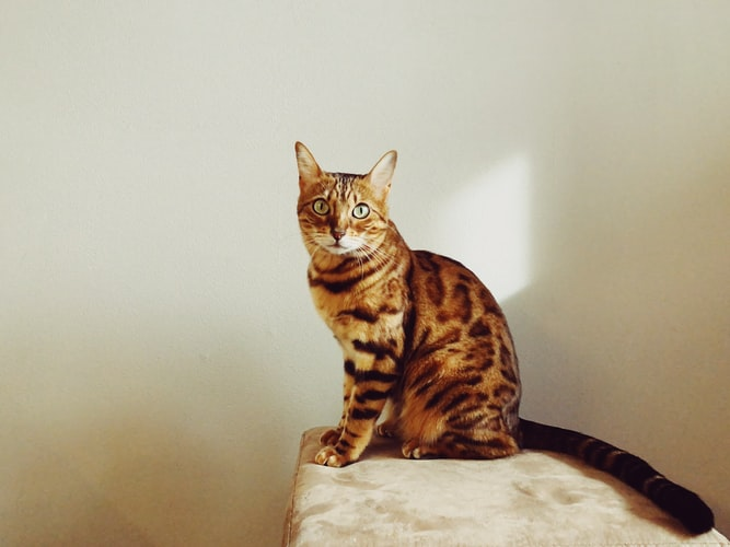 best male Bengal cat names