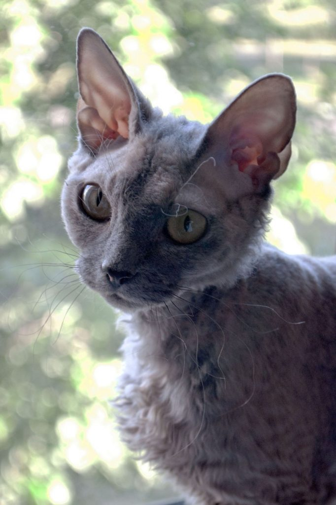 what your cat's ears are telling you