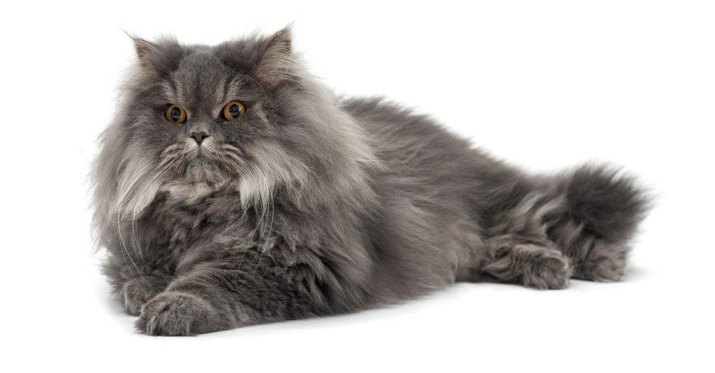 Blue Persian cat