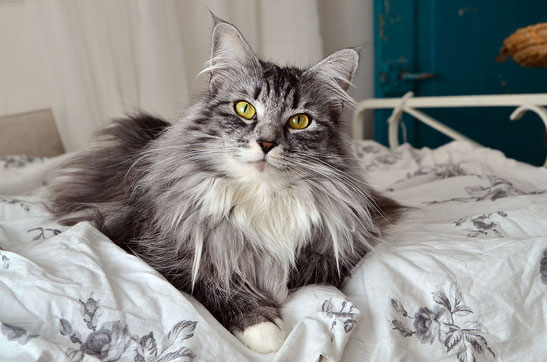 types of cat fur Long-Haired Cats