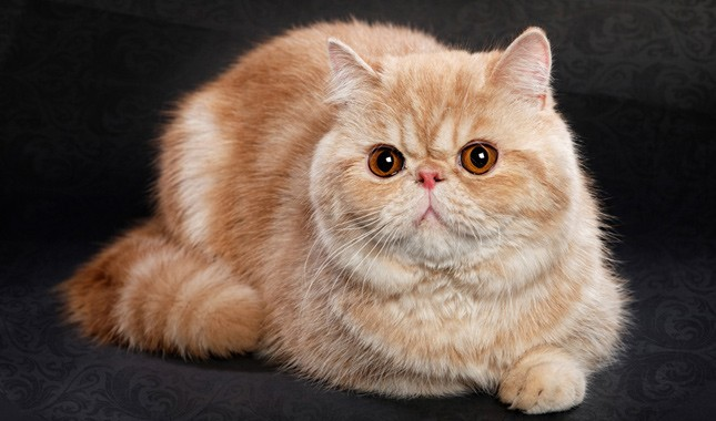 Exotic Shorthair fluffy cat