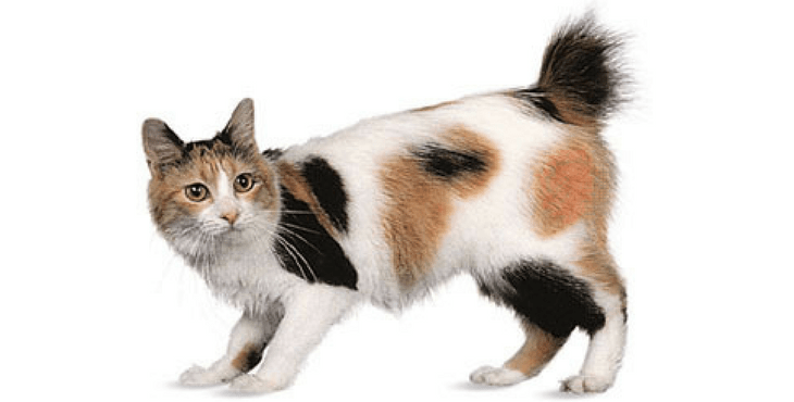 fluffy Japanese Bobtail cat