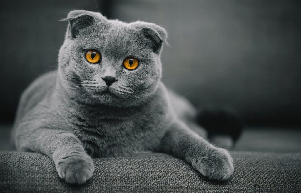 fluffy Scottish Fold cat