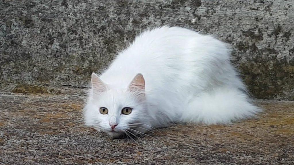 Turkish Angora fluffy cat