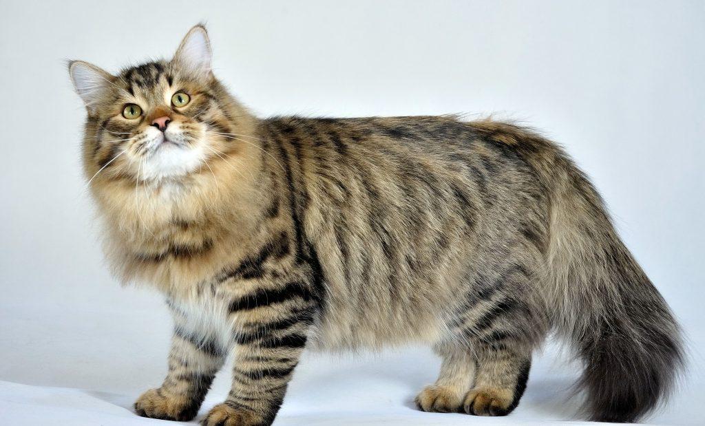 fluffy Siberian cat