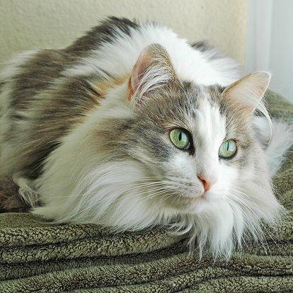 fluffy Ragamuffin cat