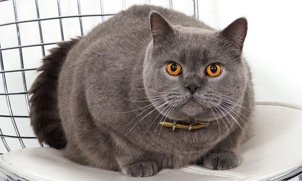 British Shorthair fluffy cat