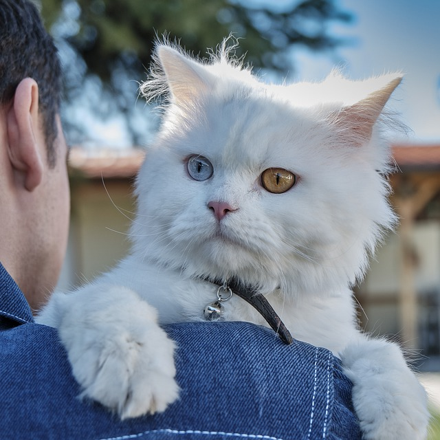 Persian cat breed with big eyes