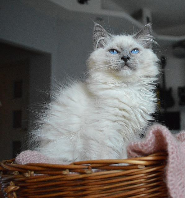 ragdoll fluffy cat