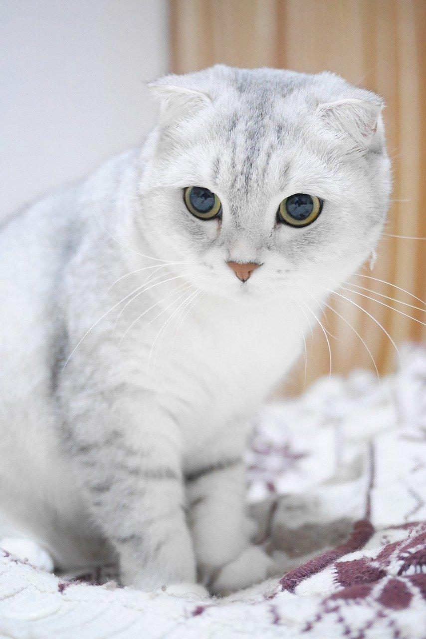 Scottish Fold cat breed with big eyes