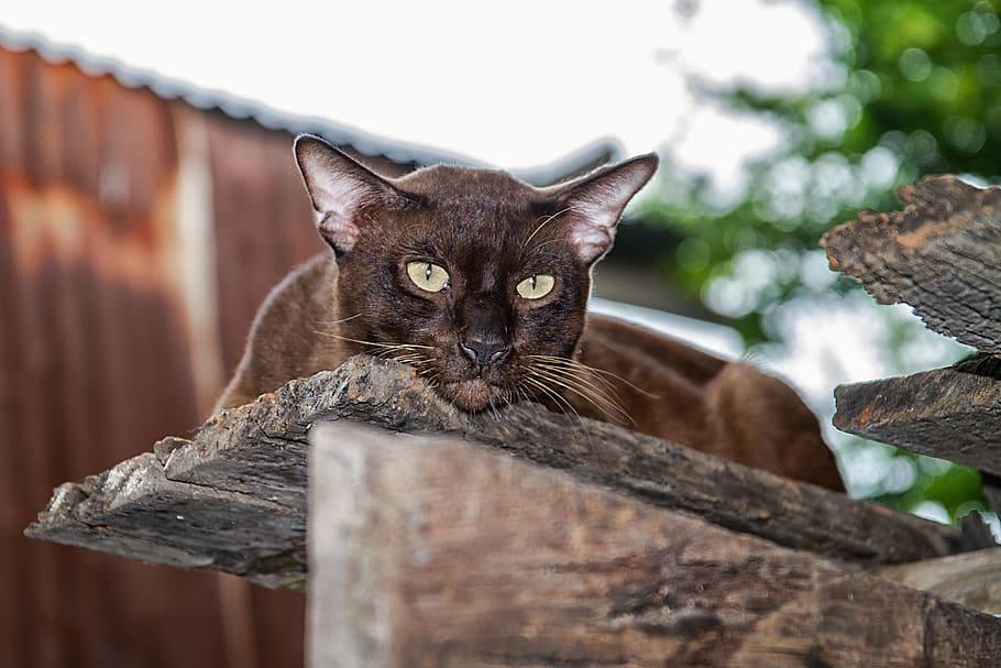 Havana Brown rare cat breeds