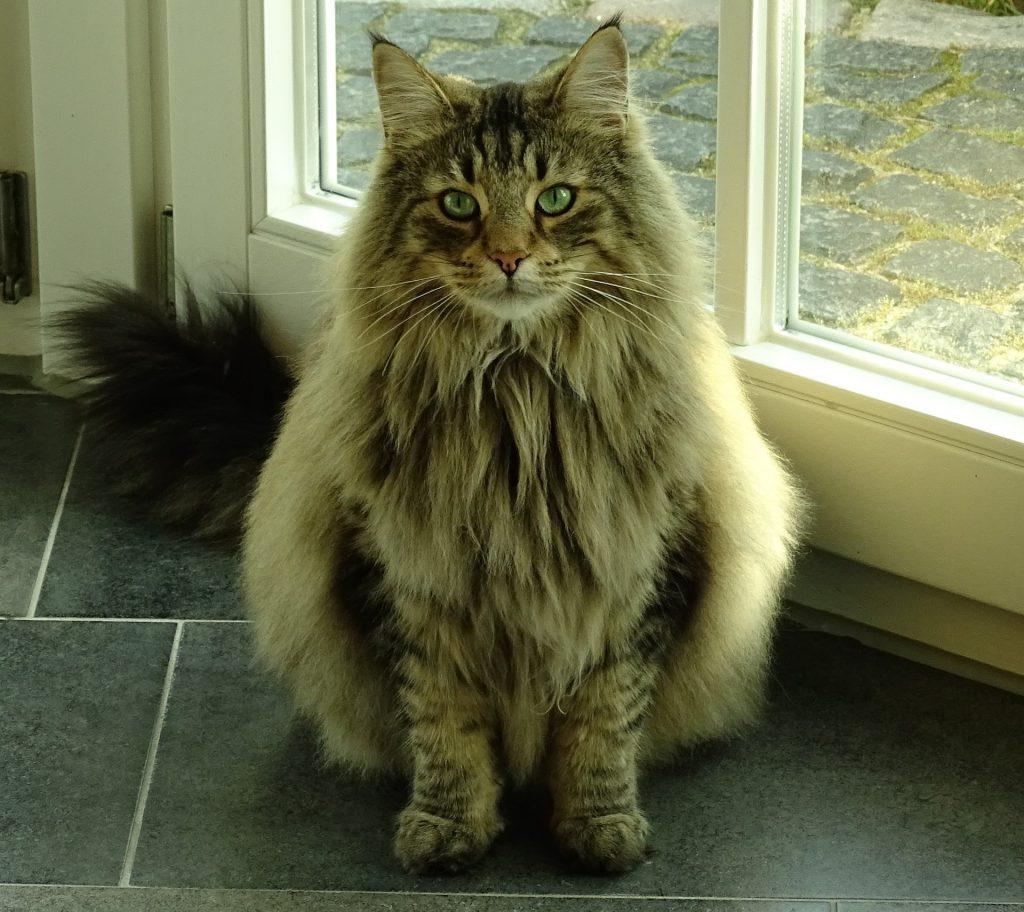 Norwegian Forest rare cat breeds