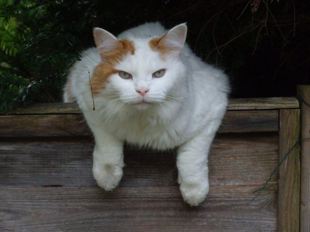 Turkish Van rare cat breeds