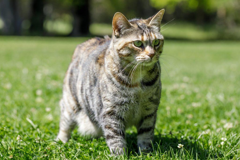 american bobtail rare cat breeds