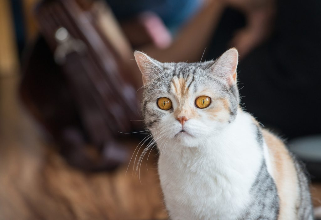 american wirehair rare cat breeds