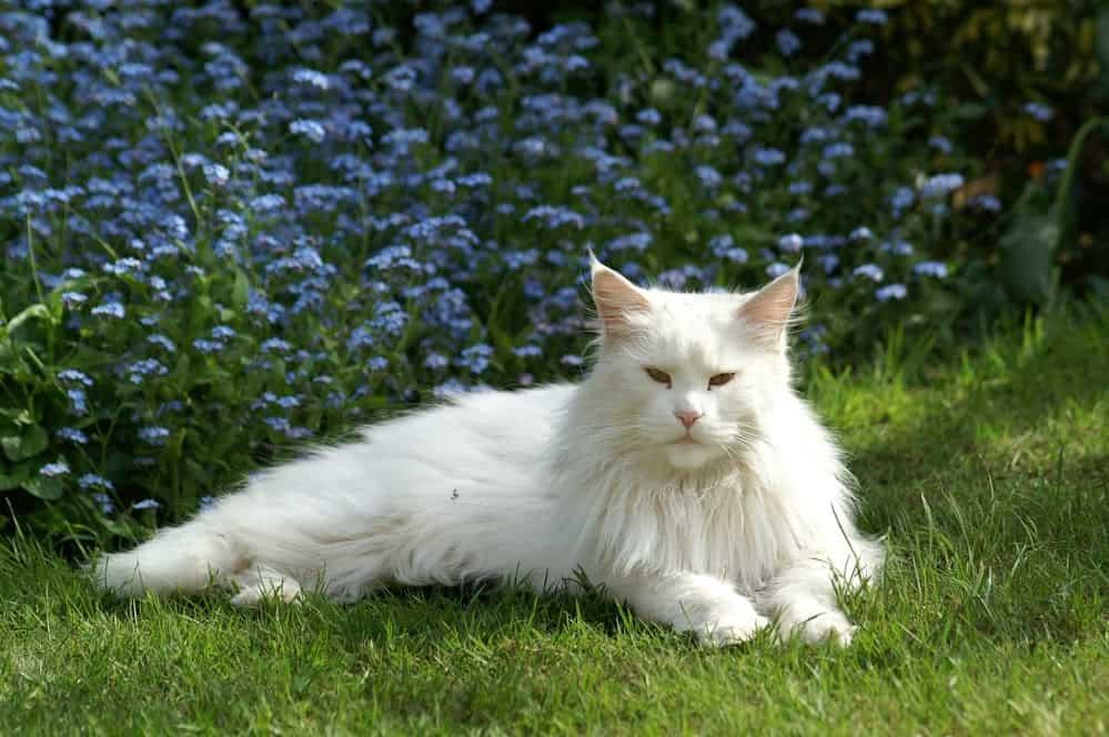 cat coat color white