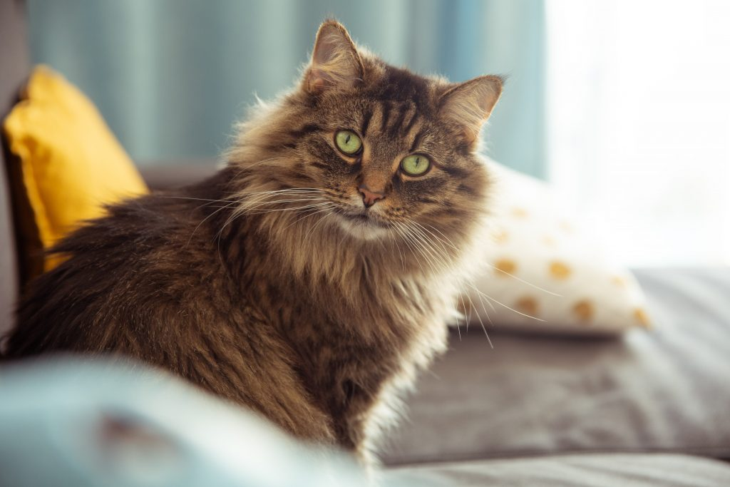 Maine Coon vs Norwegian Forest differences