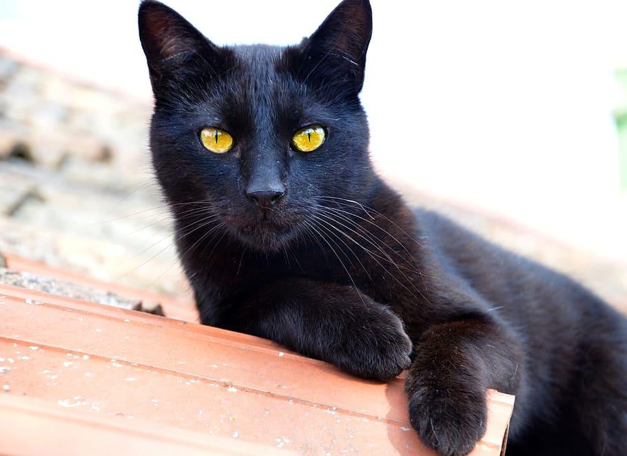 cat coat color black