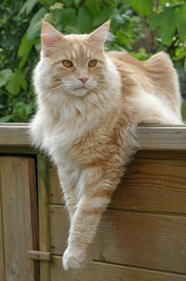 Popular Maine Coons Coat Patterns cameo