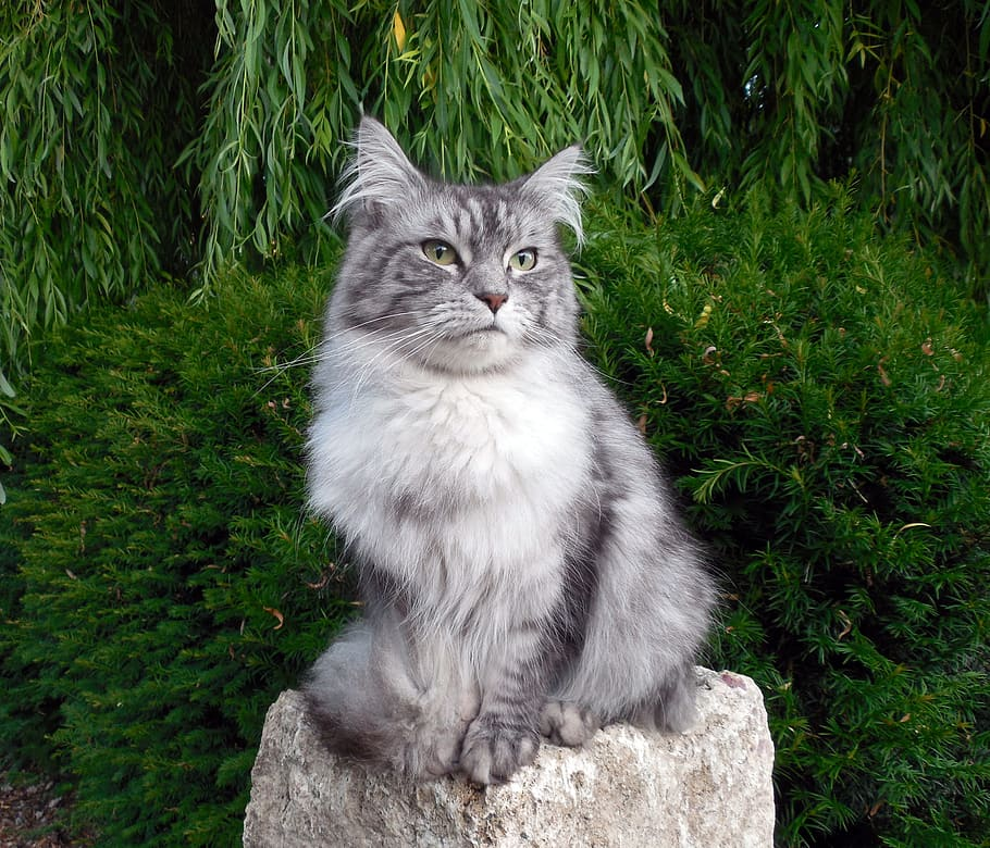 Popular Maine Coons Coat Patterns silver
