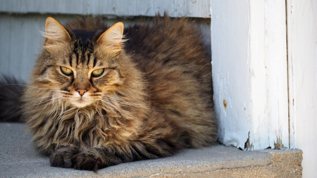 Popular Maine Coons Coat Patterns brown