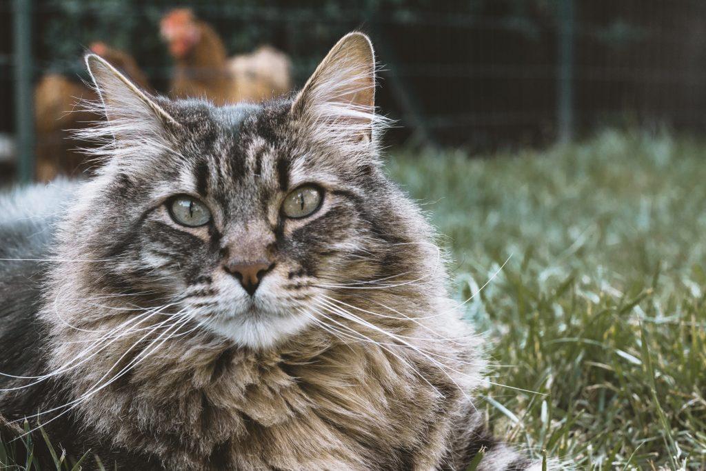 siberian cat rare feline breeds