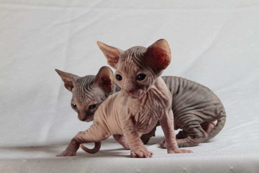 minskin rare cat breeds